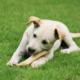 Labradorwelpe nagt einen Knochen