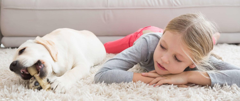 Junger Labrador nagt einen Kauknochen