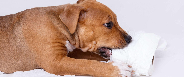 Staffordshire Terrier Welpe knabbert Toilettenpapier