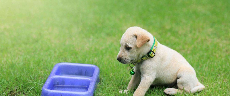 Labradorwelpe sitzt vor einen Wassernapf