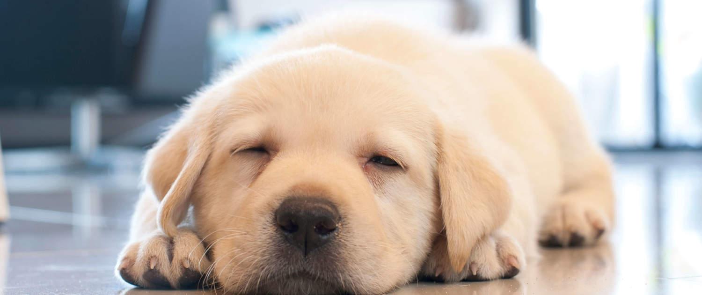 Schlafender Labradorwelpe